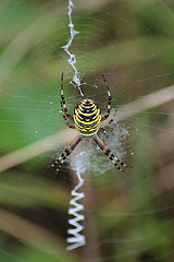 Wasp spider spotted at Cefn Ila, with kind permission from Mike Kilner, WT volunteer