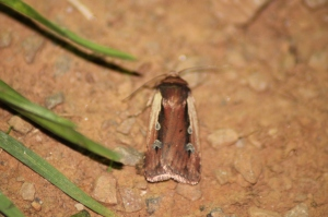 Moth at Cefn Ila. Taken by Mike Kilner.