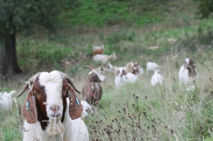 The goats are back!  Doing their job helping keep down the vegetation at Cefn Ila.  Photo courtesy of Mike Kilner.