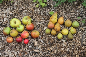 Apple and pear selection from Cefn Ila orchard.  Photo courtesy of Mike Kilner.