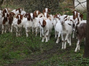The goats are back.