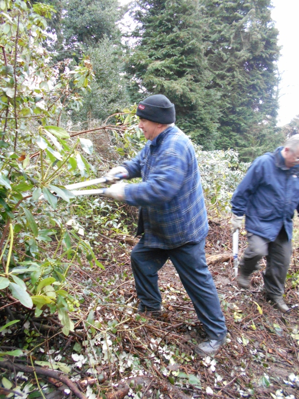Clearing bramble around a specimen Rhododendron
