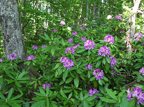 Rhododendron ponticum - invasive species
