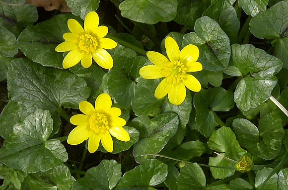 Lesser celandine as about to forma blanket of colour in the walled garden.